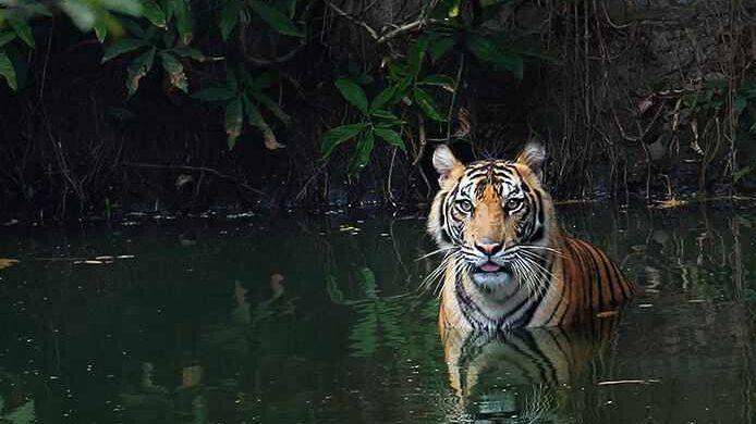 Harimau Sumatera di Zona Mamalia Kebun Binatang Ragunan