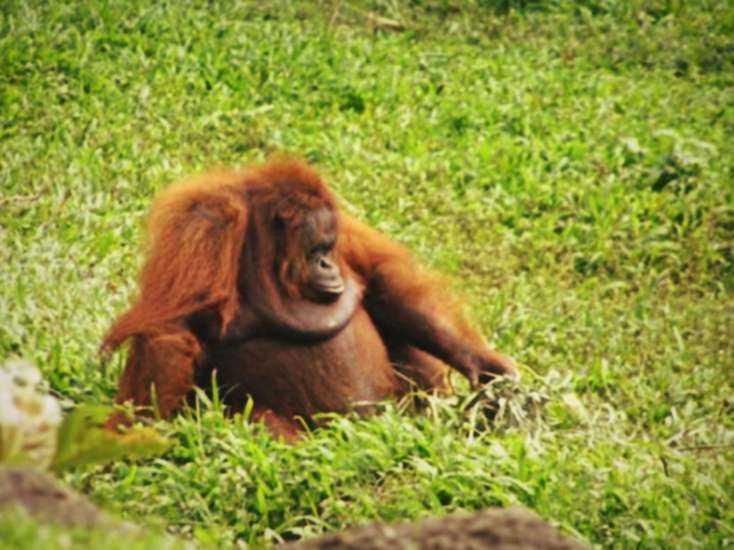 orang utan taman safari cisarua
