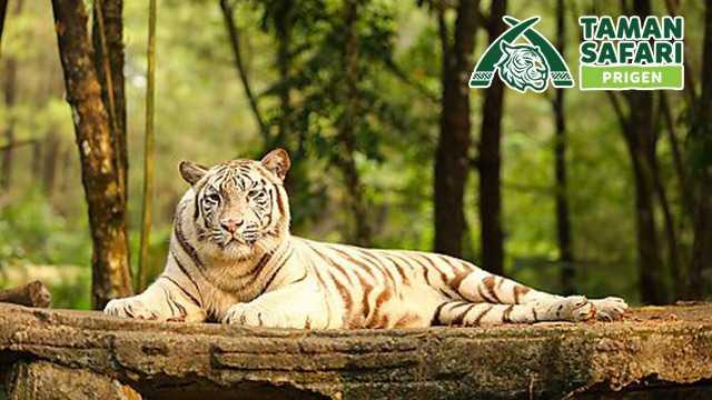 Promo Taman Safari Prigen Harga Spesial Tiket Hanya Rp100 000 Travelspromo