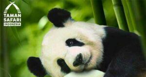 Istana Panda Taman Safari
