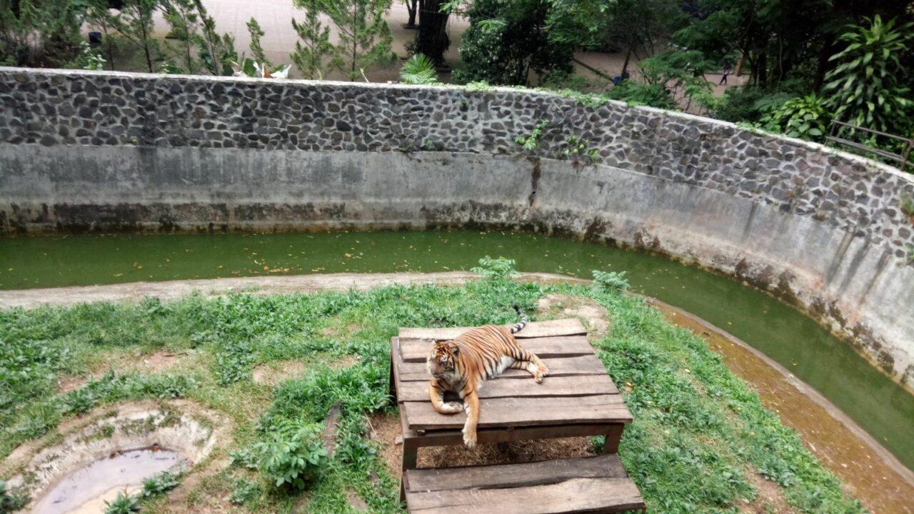 harimau sumatera sedang bersantai