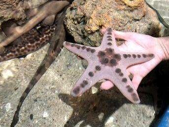 bintang laut di kolam sentuh