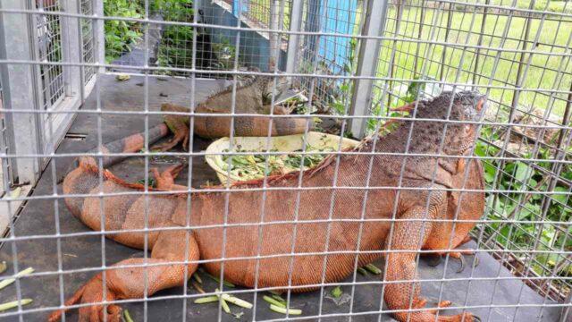 melihat binatang iguana