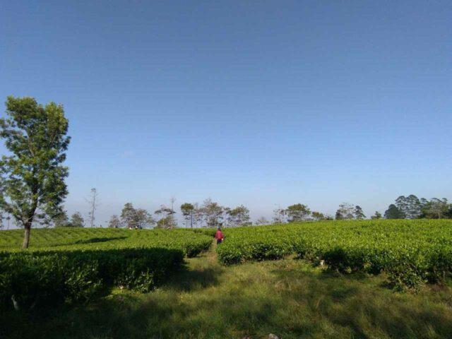 kebun teh di CIC Bandung