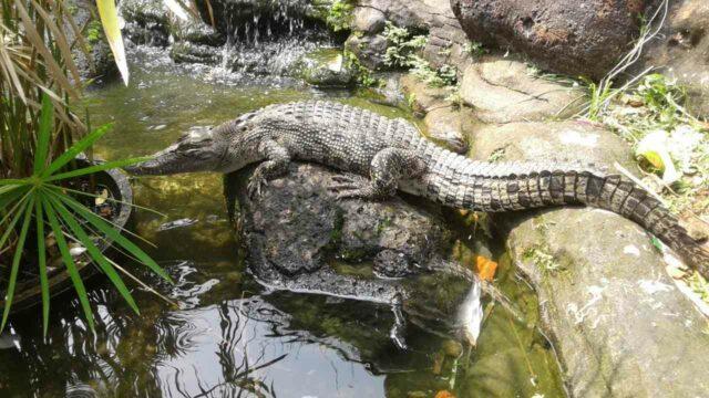 buaya di kebun binatang mini tirtania waterpark