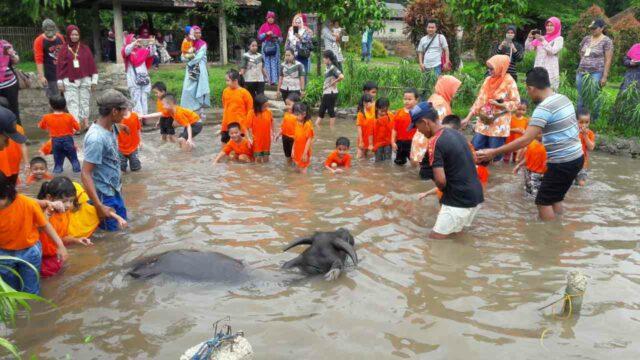 memandikan kerbau di kampung wisata cinangneng