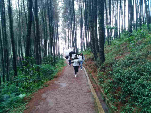 hutan pinus bukit moko