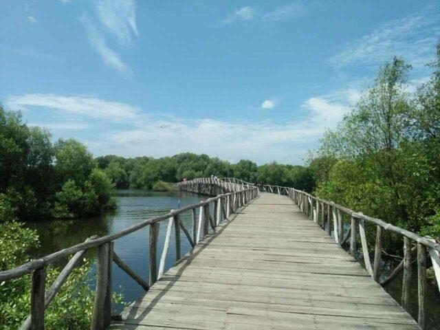 Jembatan kayu berkeliling kawasan mangrove