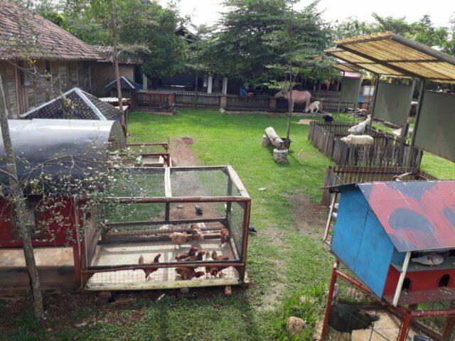 menjadi peternak di dkandang azaming farm