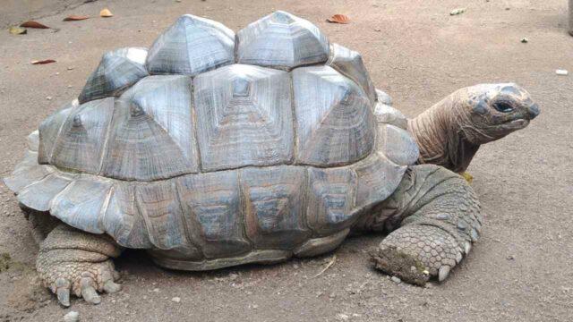kura-kura di godong ijo
