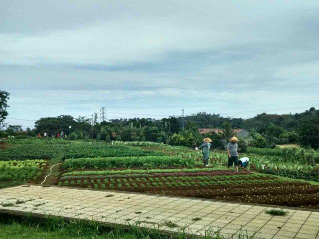 kebun bibit kuntum farm field