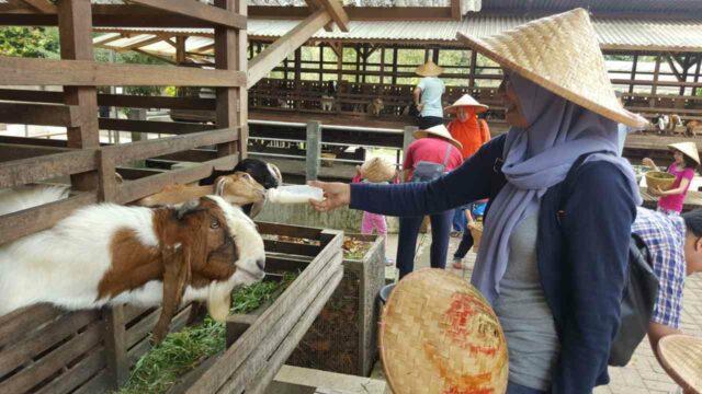 ikut memberi makan ternak