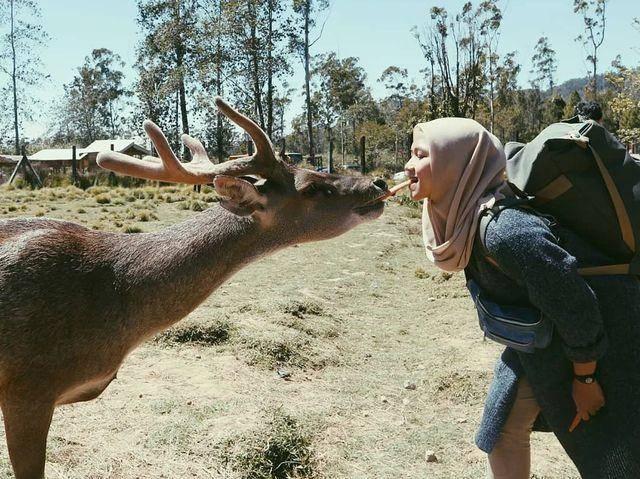 memberi makan rusa ranca upas