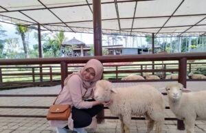 berinteraksi dengan domba