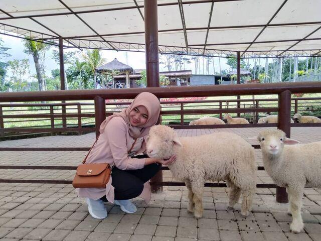 berinteraksi dengan domba di agrowisata bhumi merapi