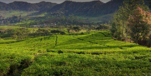 kebun teh Kawasan agrowisata gunung mas