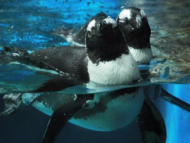 pinguin gembira loka
