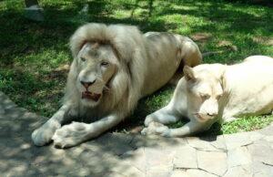 singa putih yang langka di Faunaland