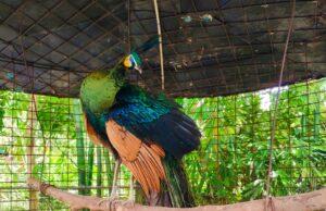 burung merak di taman wisata pendidikan purbasari pancuran mas