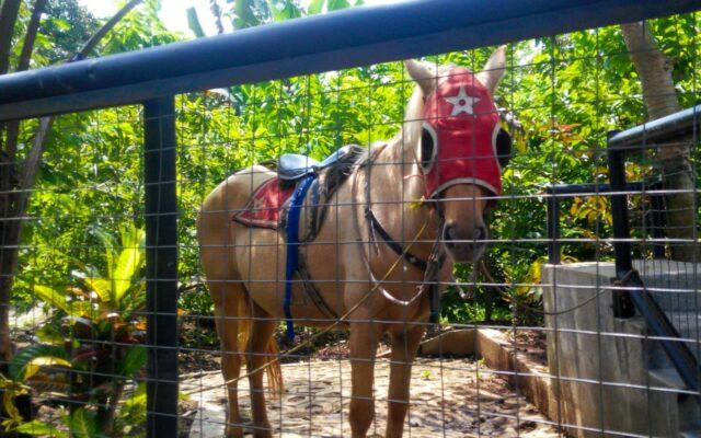 berkuda di taman botani sukorambi jember