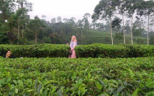 keindahan perkebunan teh