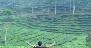 hamparan tanaman teh di kawasan wisata kebun teh pagilaran