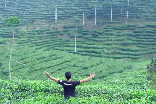 Pemandangan hamparan tanaman teh