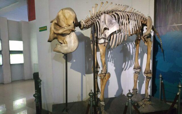 Kerangka gajah di museum