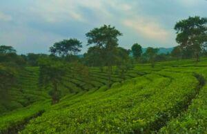 hamparan tanaman teh di kebun teh wonosari