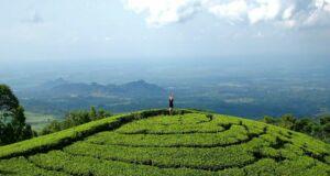 Melihat pemandangan Kebun Teh Jamus Ngawi dari atas
