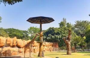 Zebra di Kebun Binatang Surabaya KBS