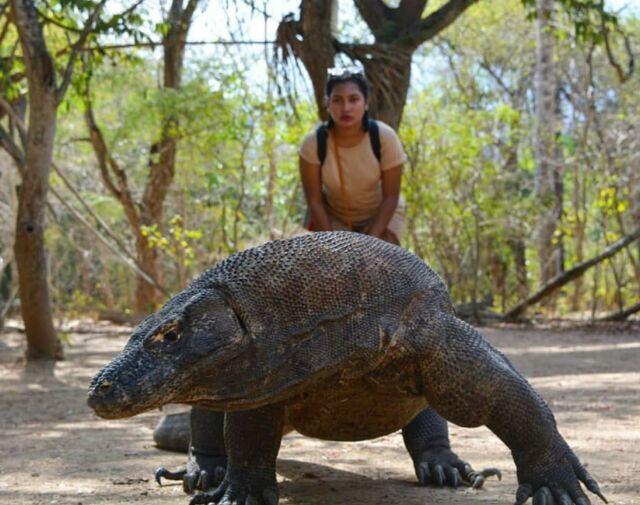 Aktivitas utama di Pulau Komodo, NTT tentu saja melihat fisik Komodo, satwa purba kebanggaan Indonesia dengan aktivitas hidupnya