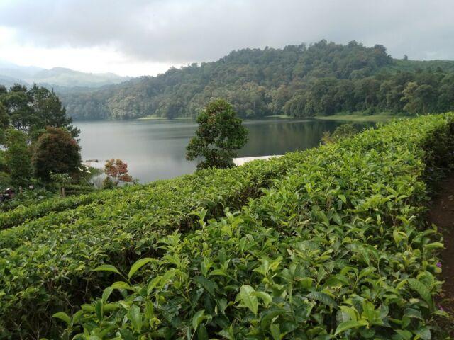 Area perkebunan teh seluas puluhan hektar ini menjadi tempat wisatawan berjalan-jalan menikmati keindahan Situ Patenggang Bandung
