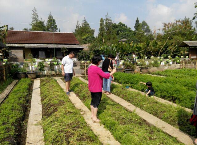kebun sayur yang tertata rapi