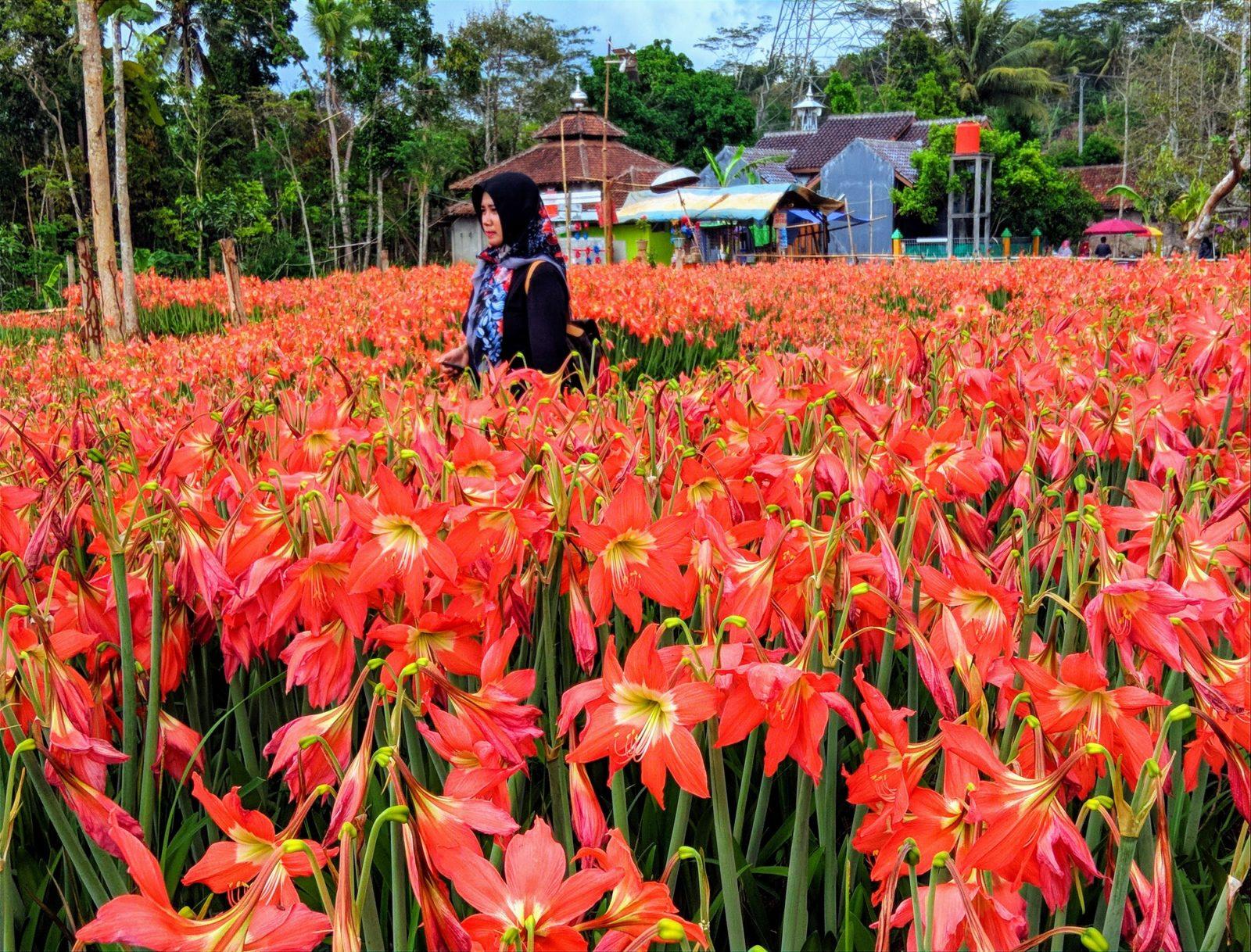 Terkeren 21 Gambar Tanaman Bunga Amarilis Gambar Bunga HD