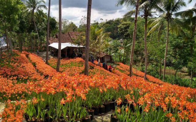 hamaparan bunga amaralis berwarna oranye