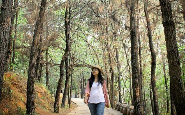 rimbun dan sejuknya pohon pinus di taman kota BSD