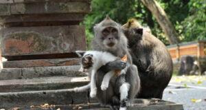 Kera Bermain dengan Kucing di alas kedaton monkey forest tabanan