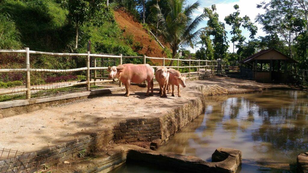 Kerbau Bule di Bogor Mini Zoo