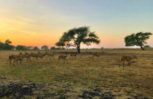 rusa liar di taman nasional baluran
