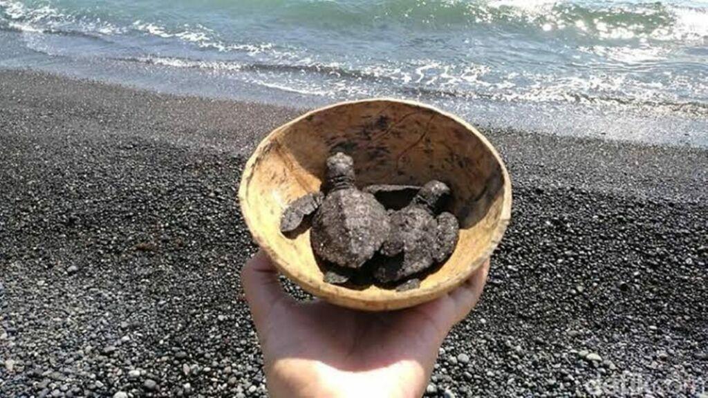 Melepas Penyu ke Laut di Pantai Goa Cemara