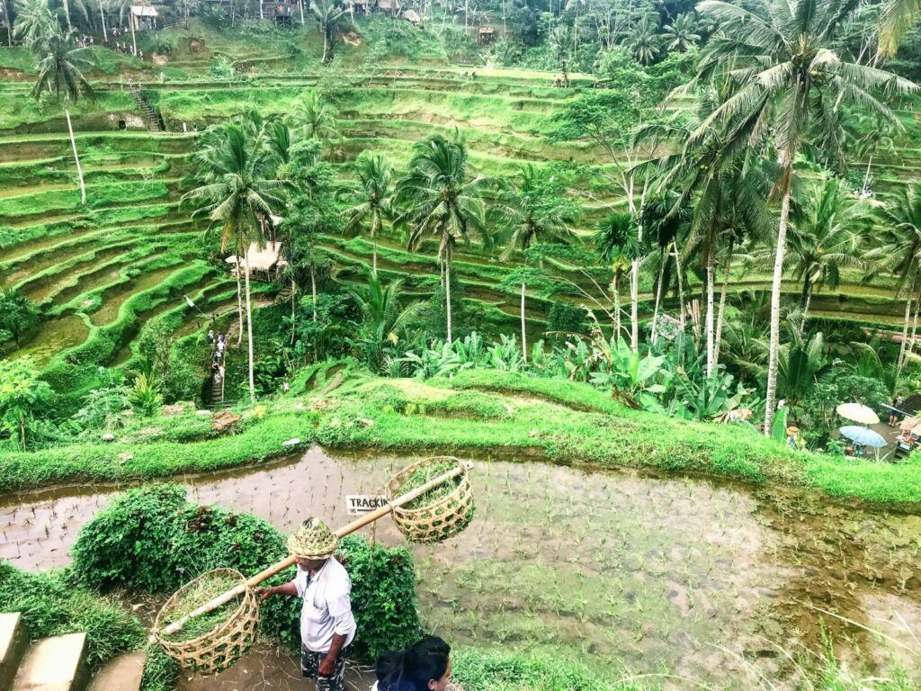 Aktivitas Petani di Tegalalang Rice Terrace