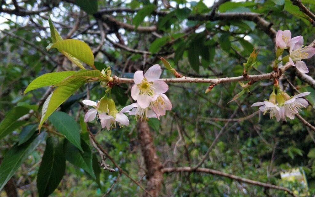Bunga Sakura di Cibodas