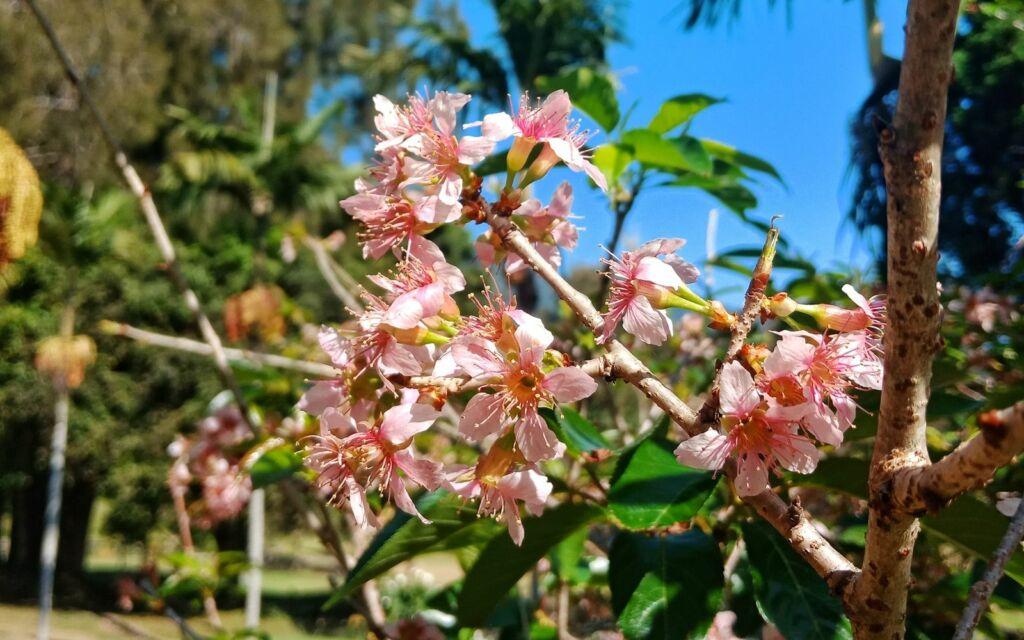 Serumpun bunga sakura