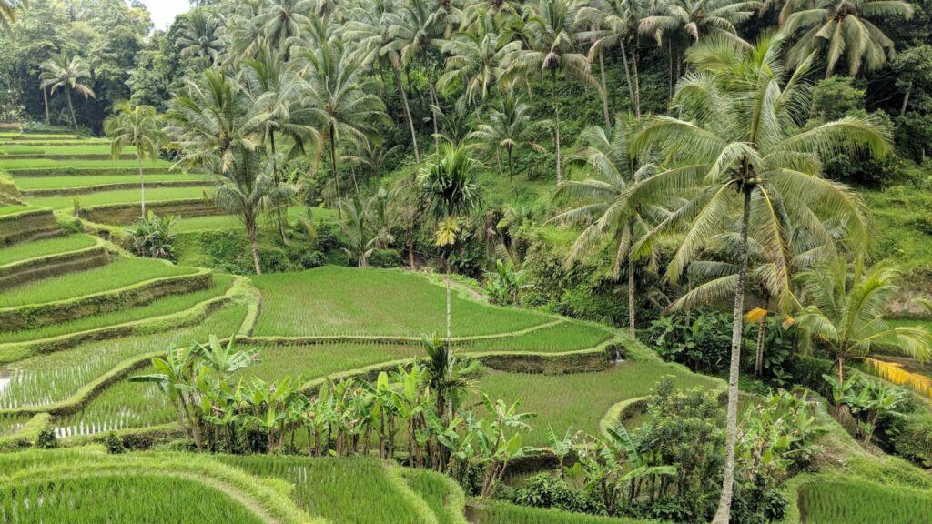 Tanaman Padi yang belum Tumbuh Tinggi di Tegallalang Rice Terrace