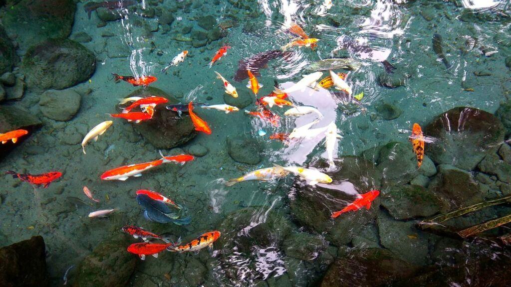 Ikan-ikan di Umbul Sigedang