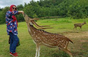 pengunjung berinteraksi dengan rusa di penangkaran rusa cariu