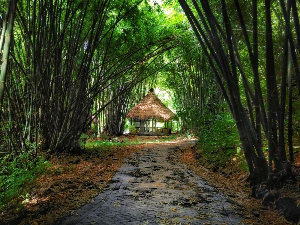 Rimbunnya Pohon Bambu di Boon Pring