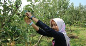 wisata petik apel kota batu