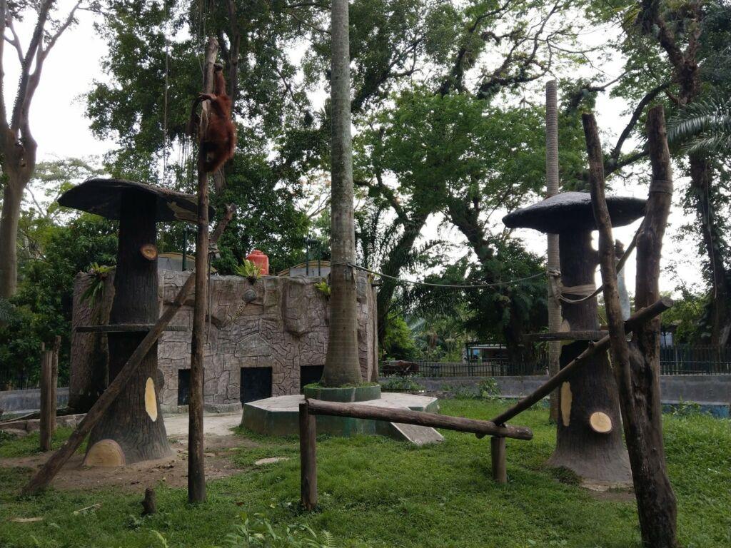 Orangutan sedang bermain di Taman Hewan Pematang Siantar